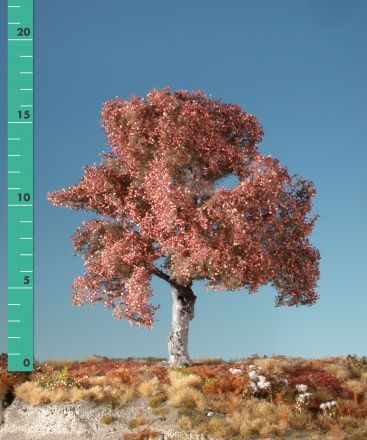 Silhouette Beech - Late fall - ca. 65cm - 0-1 (1:45+) - (320-54)