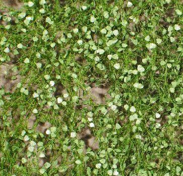 Silhouette Lombardy poplar foliage - Summer - ca. 15x4cm - 0-1 (1:45+) - (913-32S)